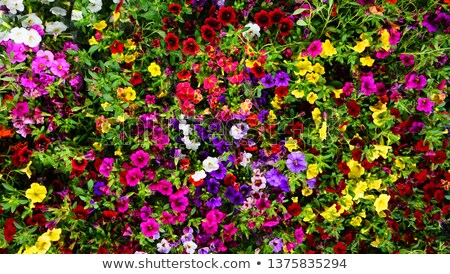 belo · roxo · violeta · flores · vaso · branco - foto stock © m_pavlov