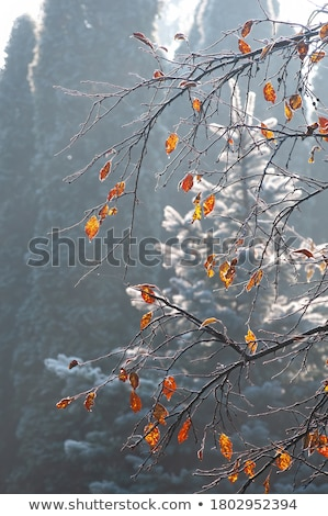 Frost covered leaf backlit  Stock photo © fanfo