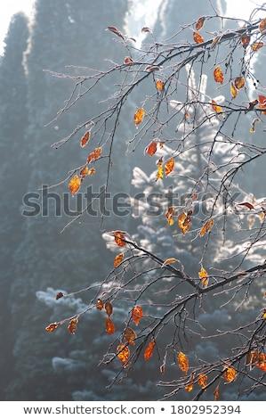 czerwony · pozostawia · słońce · świetle - zdjęcia stock © fanfo