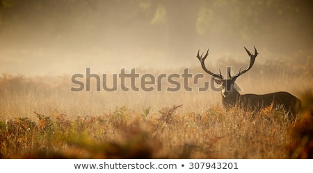 red deer stag in morning fog stock photo © taviphoto