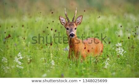 Ikra szarvas áll magas fű természet Stock fotó © ivonnewierink