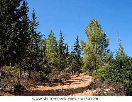 Pusty turystyka szlak sosna cyprys lesie Zdjęcia stock © Zhukow