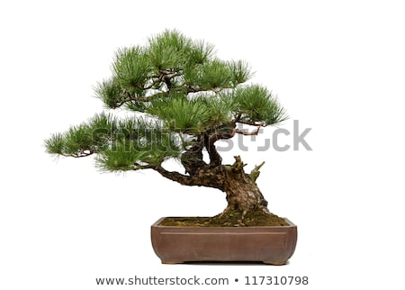 Ornamental miniature pine tree in a flowerbed Stock photo © ozgur