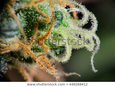Macro hennep textuur achtergrond geneeskunde plant Stockfoto © HASLOO
