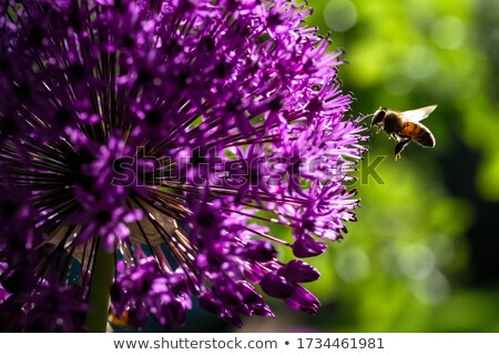 Allium Giganteum in violet colors Stock photo © Sportactive
