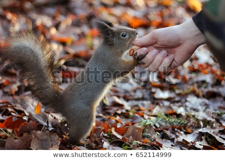 Squirrel in a city park eating peanuts from the hands of man Stock photo © ironstealth