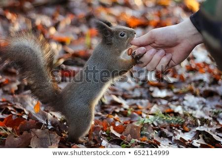 Mókus város park eszik földimogyoró kezek Stock fotó © ironstealth