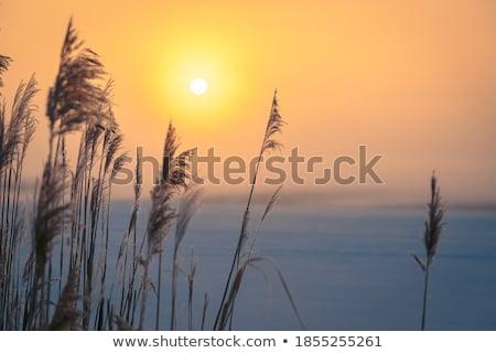 Winter ijzig gras zonsondergang licht sneeuw Stockfoto © Julietphotography