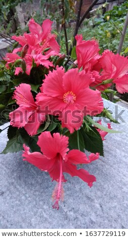 Set of gumamela flowers Stock photo © bluering