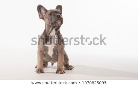 Stock fotó: Francia · bulldog · felfelé · néz · szürke · stúdió · szépség