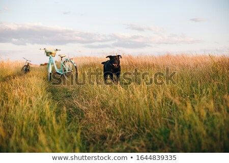 Stock photo: black Labrador runs across the grass