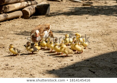 Duck family with many small ducklings stock photo © vapi