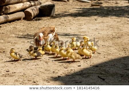 ördek aile çok küçük yüzme nehir Stok fotoğraf © vapi