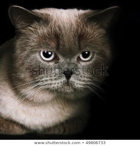Fat white and black cat isolated. Big Thick pet home Stock photo © popaukropa