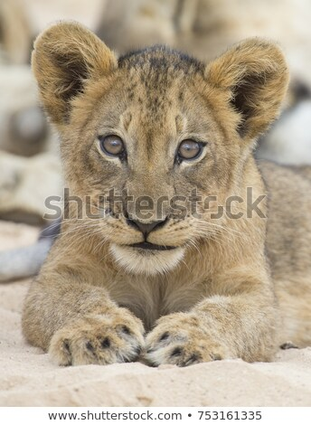 Close up of Lions laying in the sand. Stock photo © simoneeman