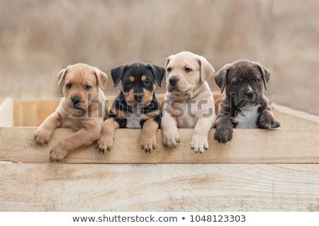 cachorros · blanco · perro · cesta · jugando · mascota - foto stock © cynoclub