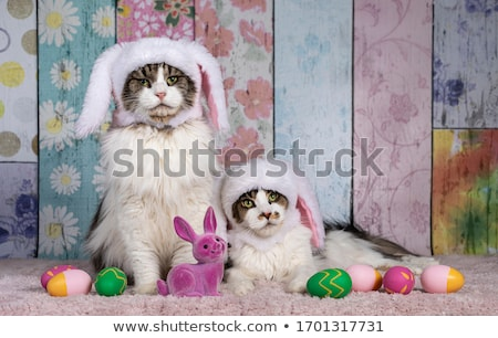 dressed maine coon cat Stock photo © cynoclub