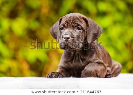 gyönyörű · sétapálca · kutyakölyök · kutya · felnőtt · fekete - stock fotó © svetography