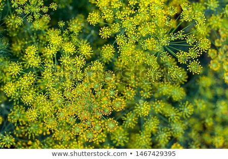 green fennel grows on soil  Stock photo © ssuaphoto