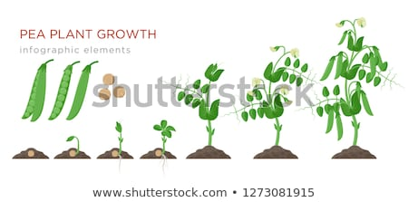 Stock photo: Green Pea plant with white flower in a garden