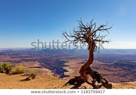 Верблюды · дерево · парка · пустыне - Сток-фото © tab62