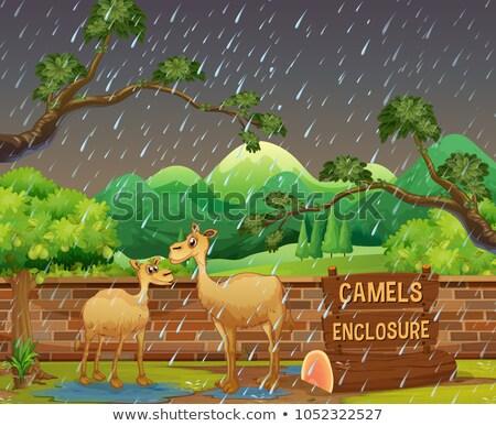 Dos camellos zoológico día ilustración cielo Foto stock © colematt
