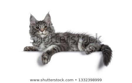 handsome blue tabby with white maine coon cat stock photo © catchyimages