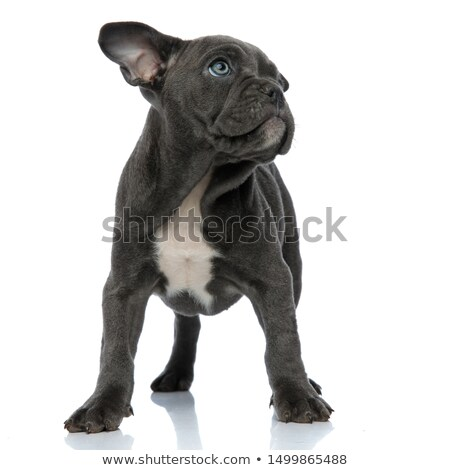 little blue american bully dog looking up stock photo © feedough