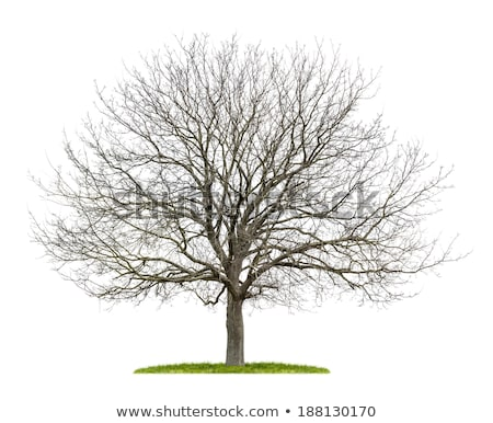 An isolated walnut tree without leafs on a white background Stock photo © Zerbor