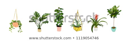 Green House Plant in Pot Isolated on White. Vector Stock photo © robuart