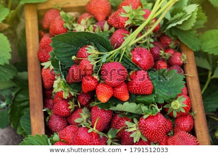 background from freshly and tasty harvested strawberries. Food background. Stock photo © X-etra