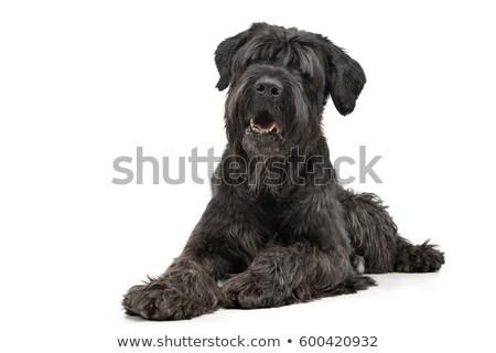 Studio shot of an adorable Black Russian Terrier Stock photo © vauvau