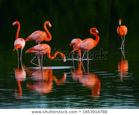 Amerikaanse flamingo vogel roze vijver bos Stockfoto © dmitry_rukhlenko