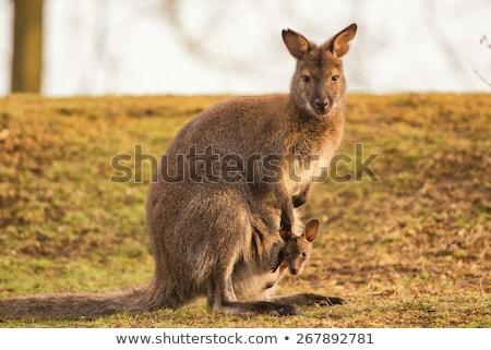 Mãe bebê australiano icônico animal marrom Foto stock © mroz