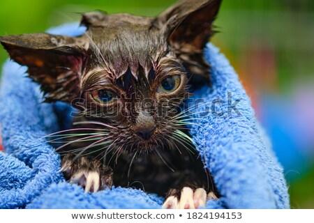 Sin pelo gato toalla funny desnuda Foto stock © PetrMalyshev