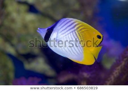 Threadfin butterflyfish (chaetodon auriga)  Stock photo © stephankerkhofs