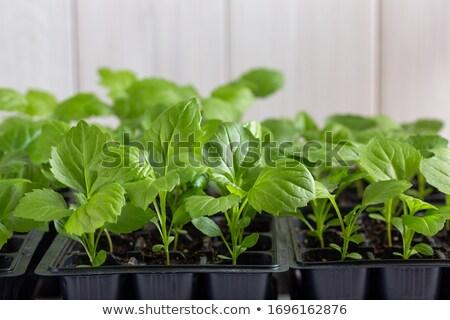 Seedlings asters Stock photo © Supertrooper