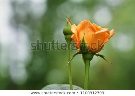 narancs · rózsa · rügy · közelkép · gyönyörű · természet - stock fotó © ElinaManninen