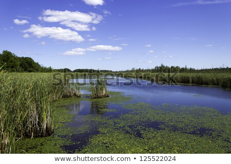 Lilypads and cattails in the bog Stock photo © bigjohn36