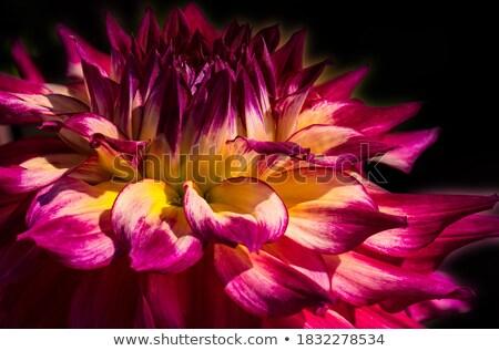 Geel dahlia bloem natuur witte boeket Stockfoto © Wikki