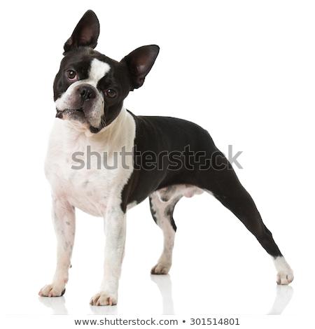 Boston terrier kutya áll fajtiszta fehér Stock fotó © dnsphotography