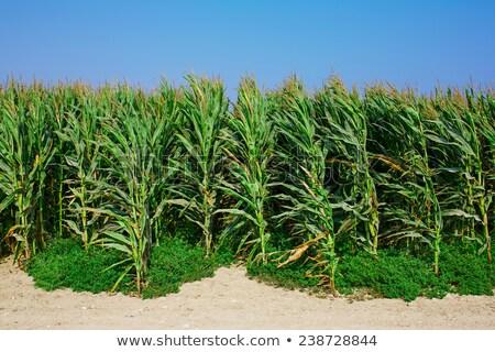 corn fields growing up in mediterranean lands stock photo © lunamarina