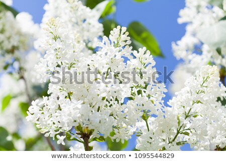 The bush of lilac against white background Stock photo © Traven