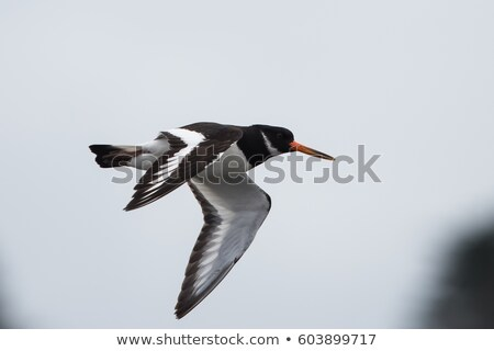 An oystercatcher in flight. Stock photo © latent