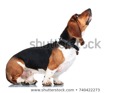 Standing Dog Basset Stock photo © derocz