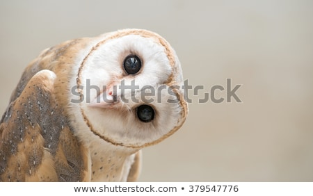 barn owl portrait stock photo © pxhidalgo