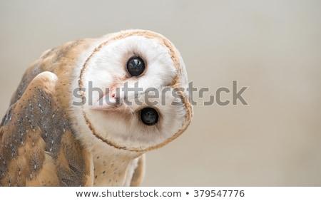 barn owl portrait stock photo © pxhidalgo