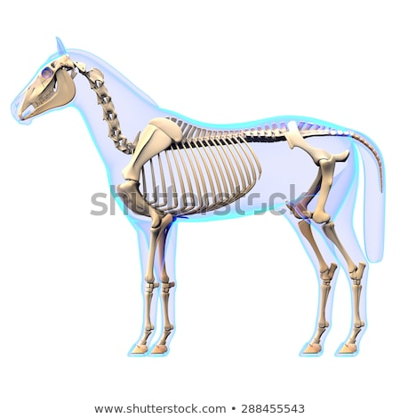 Stock photo: horse skeleton section