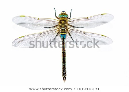 dragonfly looks with one eye stock photo © thomaseder