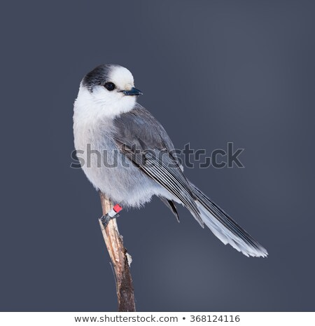 Grey Jay Whiskey Jack Bird Watching Animal Wildlife Stock photo © cboswell